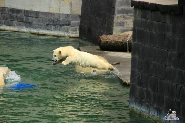 Eisbär Fiete im Zoo Rostock  168