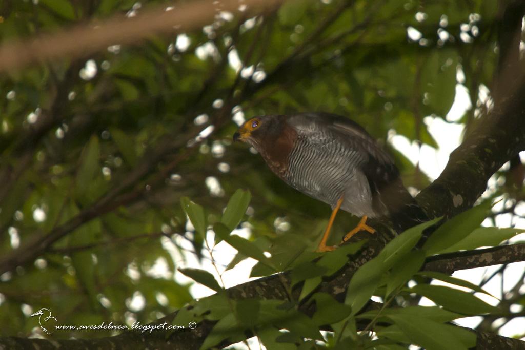 Halcón montés chico (Barred Forest-Falcon) Micrastur ruficollis