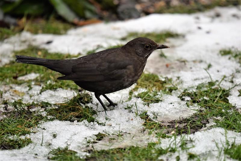 Blackbird 12.01 (14)