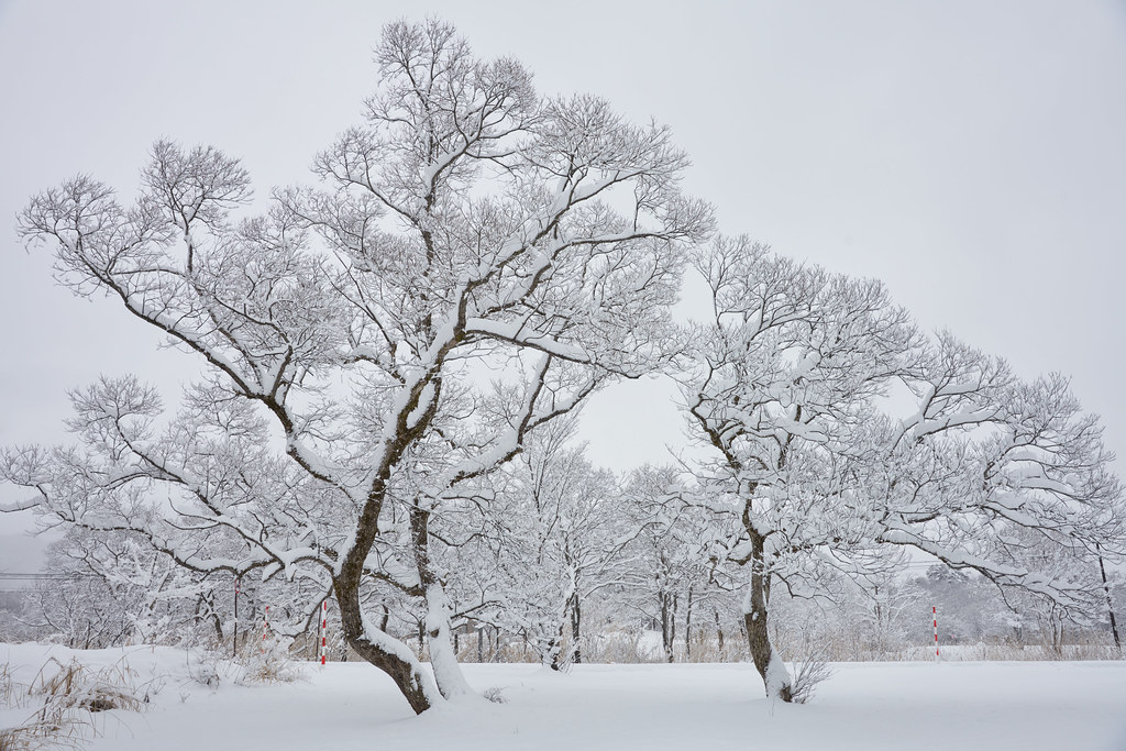 white trees winter scene of urabandai rengenuma pond 裏磐梯 レ