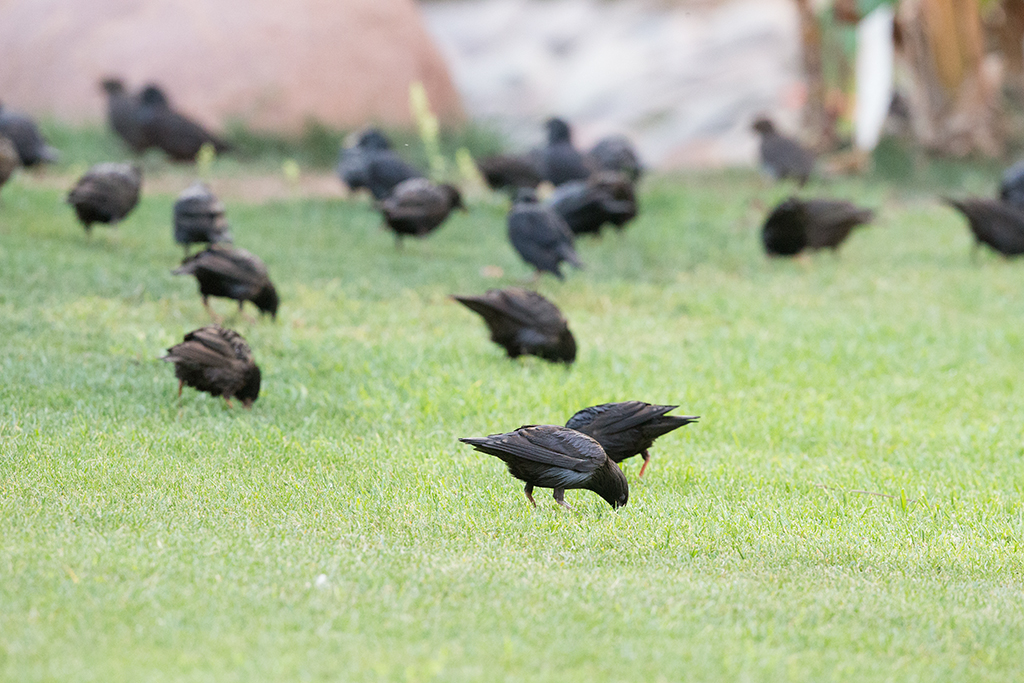 Spotless Starling   Morocco