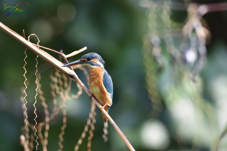 Common_Kingfisher_3846