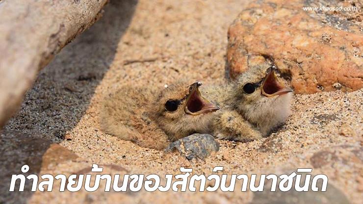 นกหัวโตเล็กขาเหลือง นกอพยพมาทำรังและวางไข่ที่ลุ่มน้ำโขง