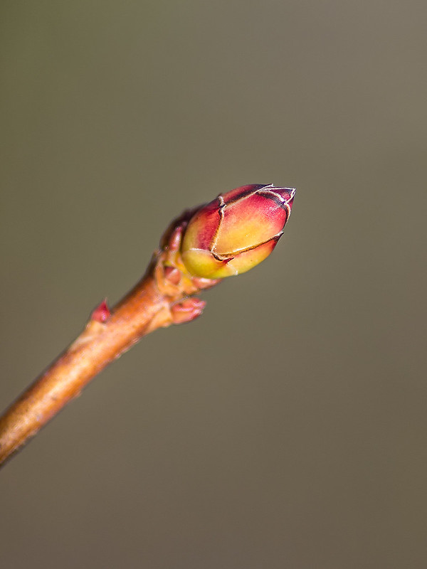 Flower bud of Smooth Azalea