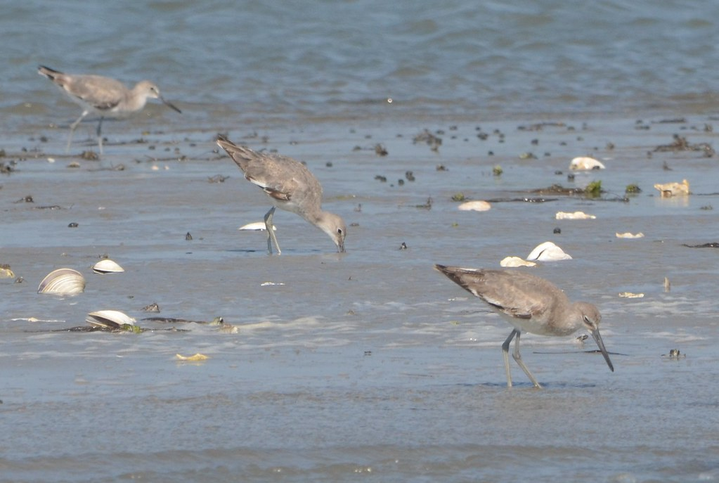 Western Willets Late June Chincoteague