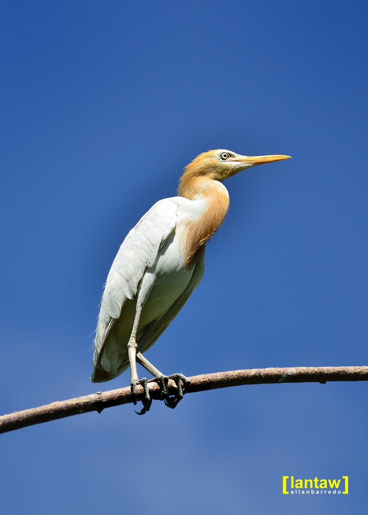 Cattle Egret - Out on a limb