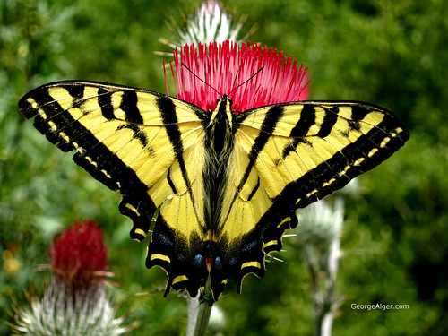 Yellow Swallowtail Butterfly | by GeorgeAlger.com