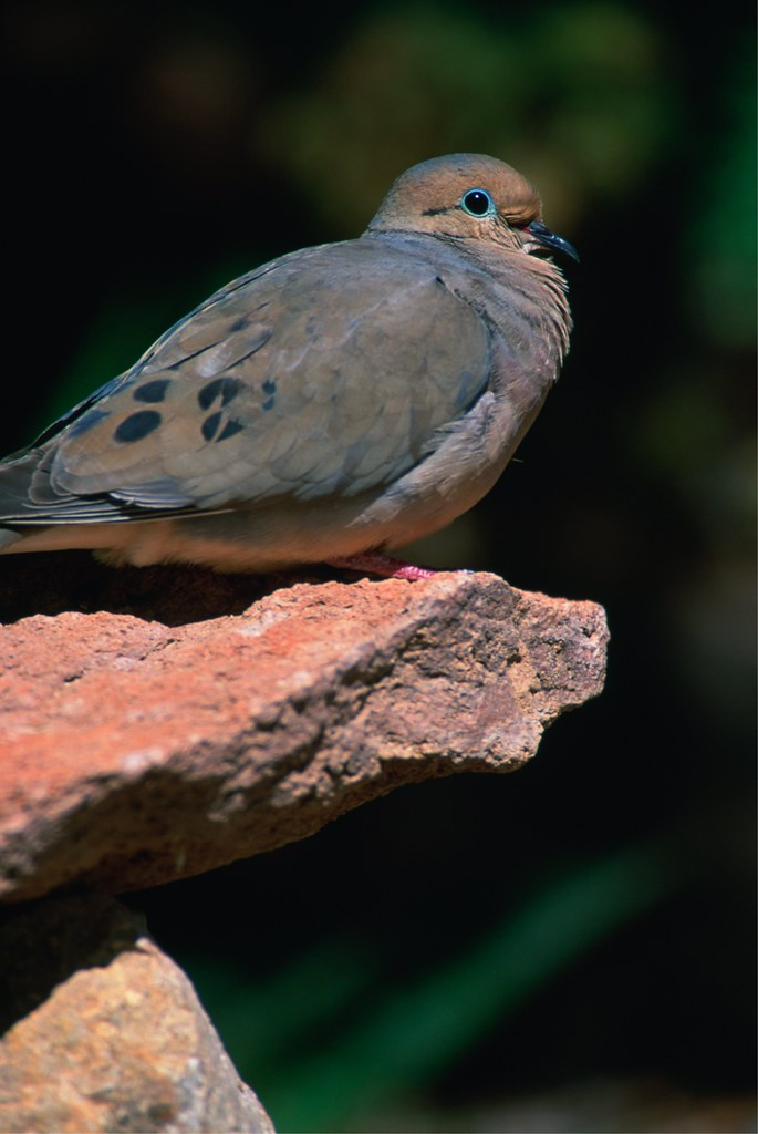 Mourning dove in sacramento valley california u s fish for California department of fish and wildlife jobs
