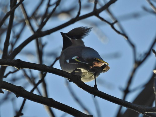 Waxwings at Worsthorne near Burnley, Lancashire, England - January 2017