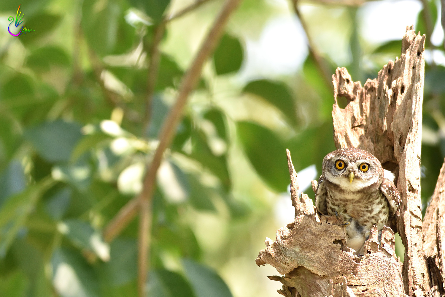 Spotted_Owlet_6792