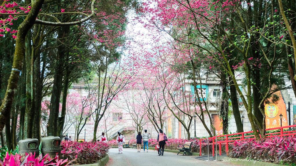 taiwan-cherry-blossom