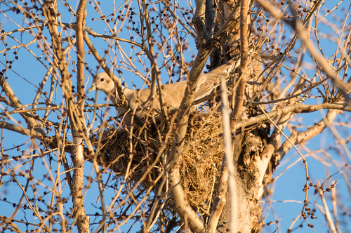 Eurasian Collared Dove on nest