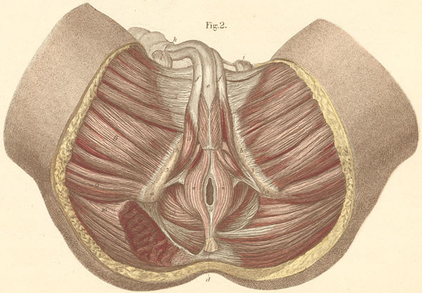 13 2 Muscles Of The Male Perineum And Anus Atlas Of Human Flickr