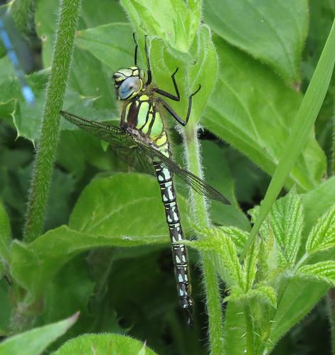 Hairy Dragonfly Brachytron pratense Tophill Low NR, East Yorkshire June 2015