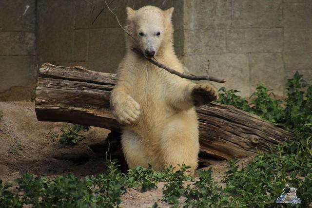 Eisbär Fiete im Zoo Rostock  284