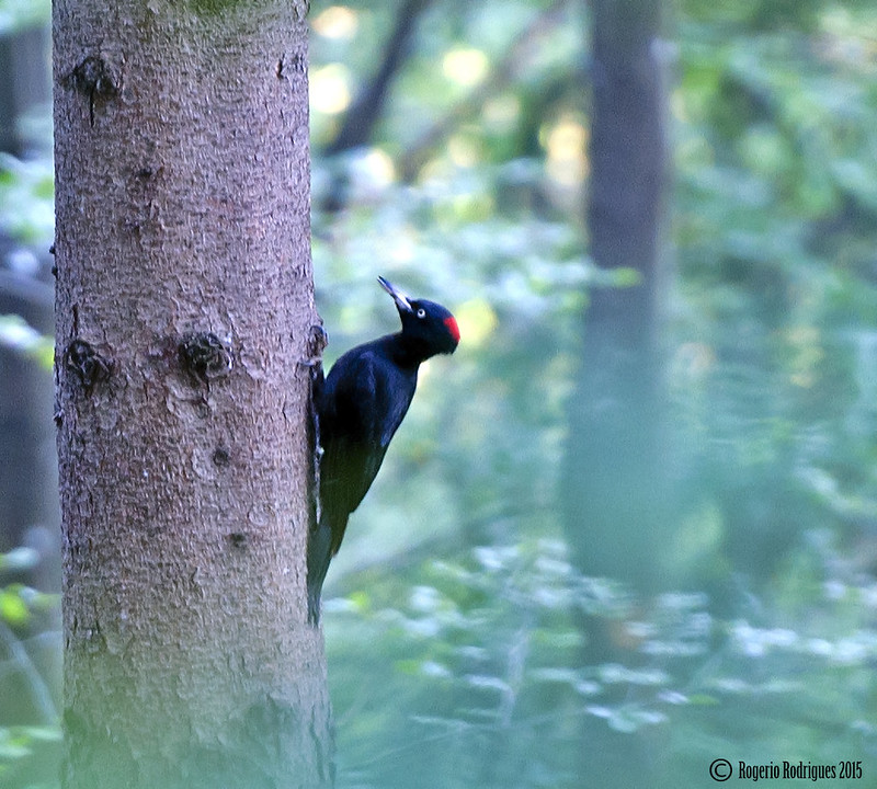 Dryocopus martius-black woodpecker ( SWI)