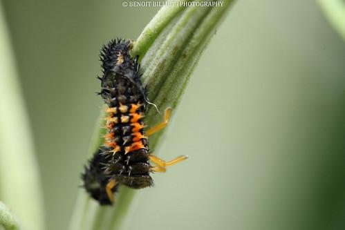 asian lady beetle larva larve de coccinelle asiatique. Black Bedroom Furniture Sets. Home Design Ideas