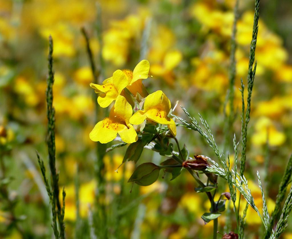 Yellow Monkey Flower Yellow Monkey Flower Near Terrace Spr Flickr