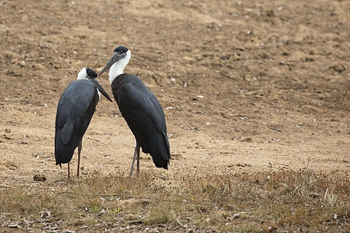wooly necked storks