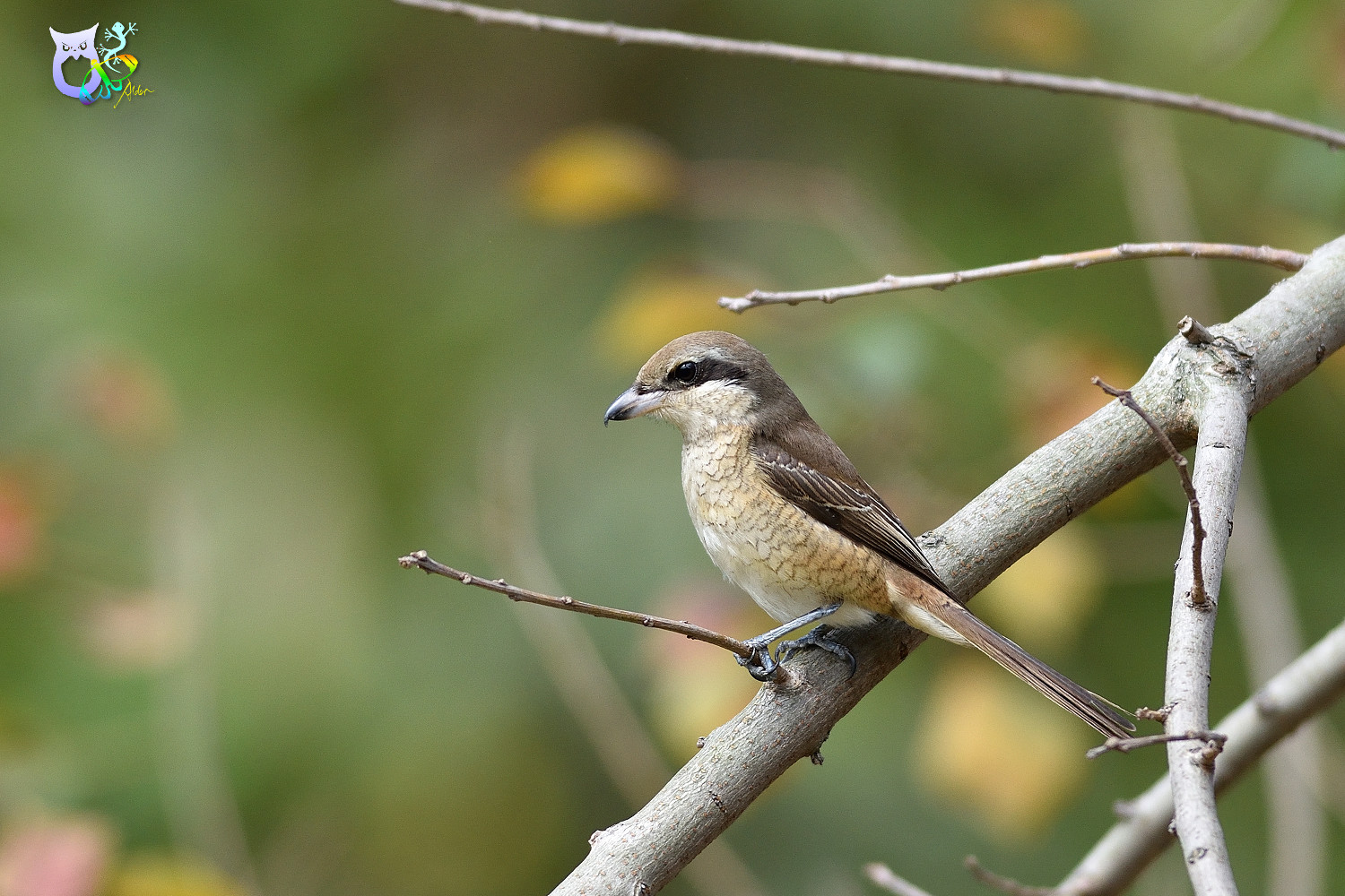 Brown_Shrike_9594