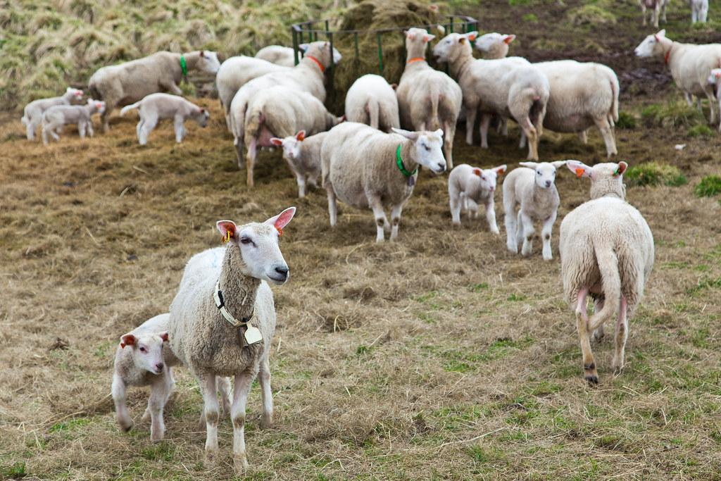Sheep-18