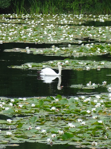 Pembroke Coast Path: Stackpole Loop - Bosherton Lakes - Lilies and Swan