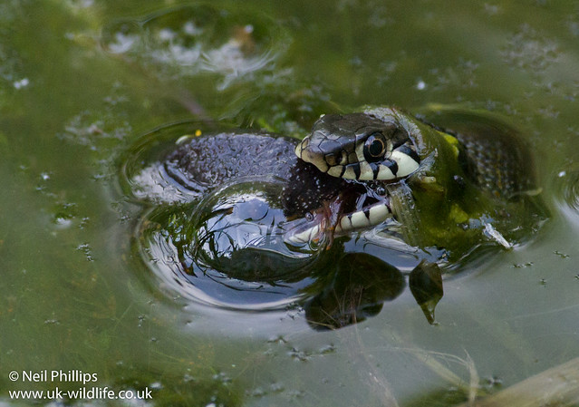 Grass snake eating great crested newt-10