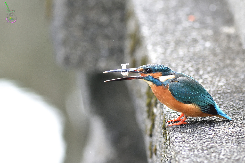 Common_Kingfisher_8166