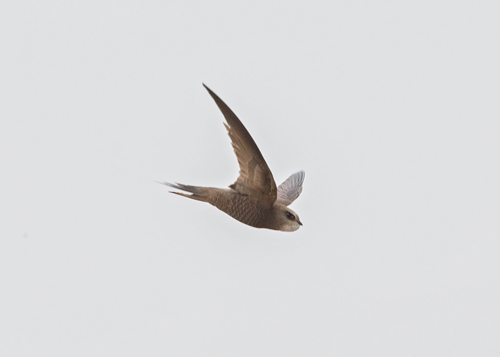 Pallid Swift  Morocco