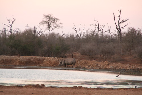Rhinos at sunset while I talked to Ted Reilly, the man who saved the wildlife of Swaziland