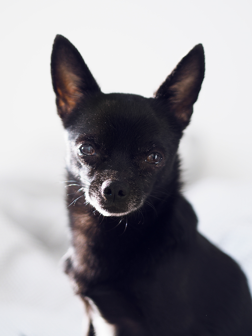 Pienen koiran kastraatio