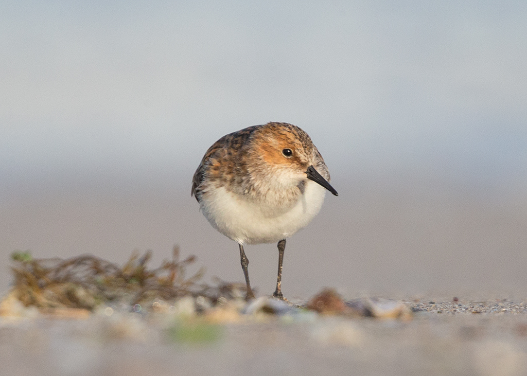Little Stint   Bulgaria
