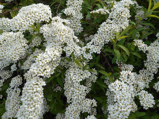 """Norjanangervon (Spiraea """"Grefsheim"""") kukintaa 30.5.2015 Meilahden arboretum Helsinki"""