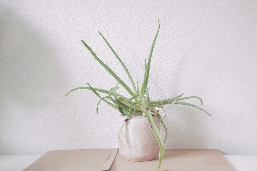 Dear Aloe Vera Belle Fleur De Lis Lotte Janssens Flickr