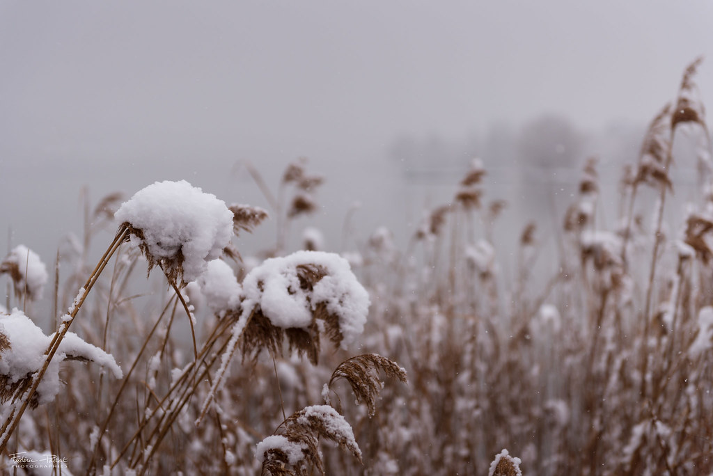 Roseaux sous la neige