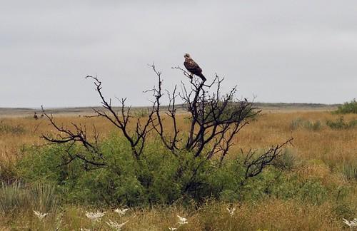A predatory bird
