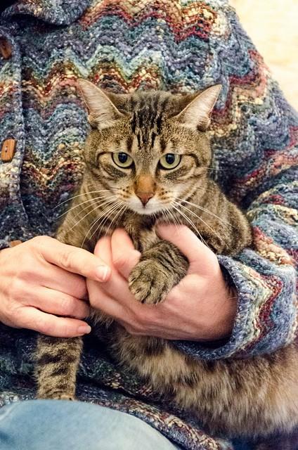 Susi, gata parda guapa y cariñosa esterilizada, nacida en Enero´15, en adopción. Valencia. ADOPTADA. 32262737135_64c9b0c540_z