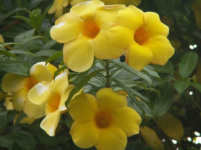 Yellow Bunga Alamanda Franc Le Blanc Flickr