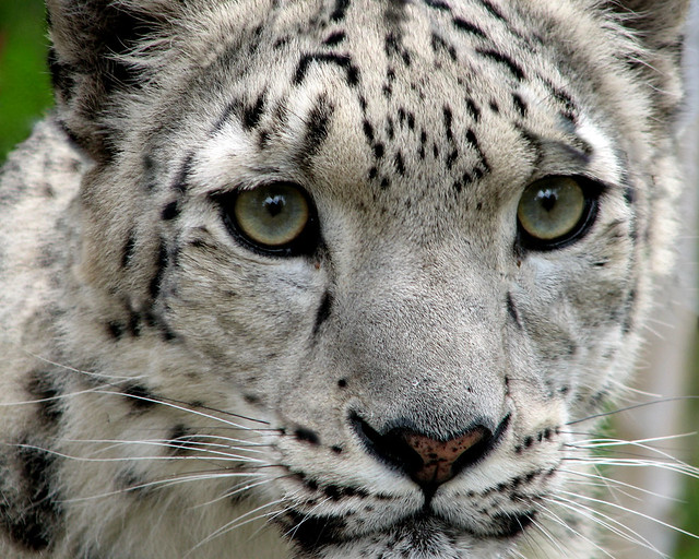 Snow Leopard I Managed To Get My Camera This Close