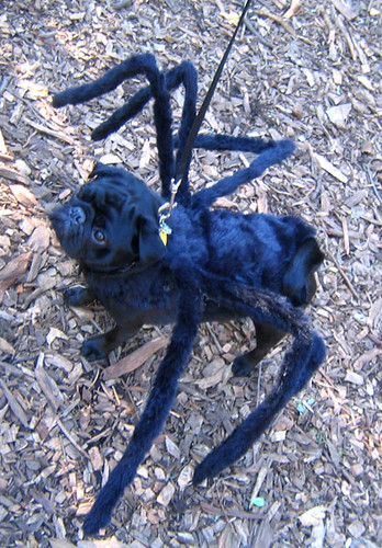 Dogs And Spider Bites Australia