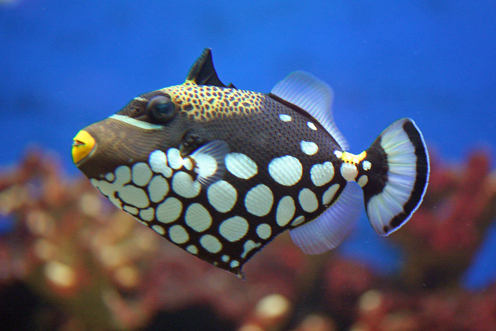 Clown triggerfish toledo zoo ohio usa kw33 flickr for Blue clown fish
