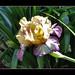 Dreamy Bearded Iris