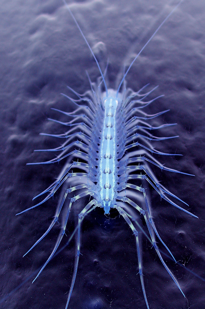 Alien Lifeform Nasty Looking House Centipede Dino