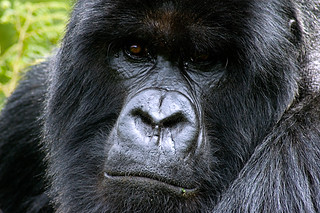 Gorilla portrait | by Andreas Rolfer