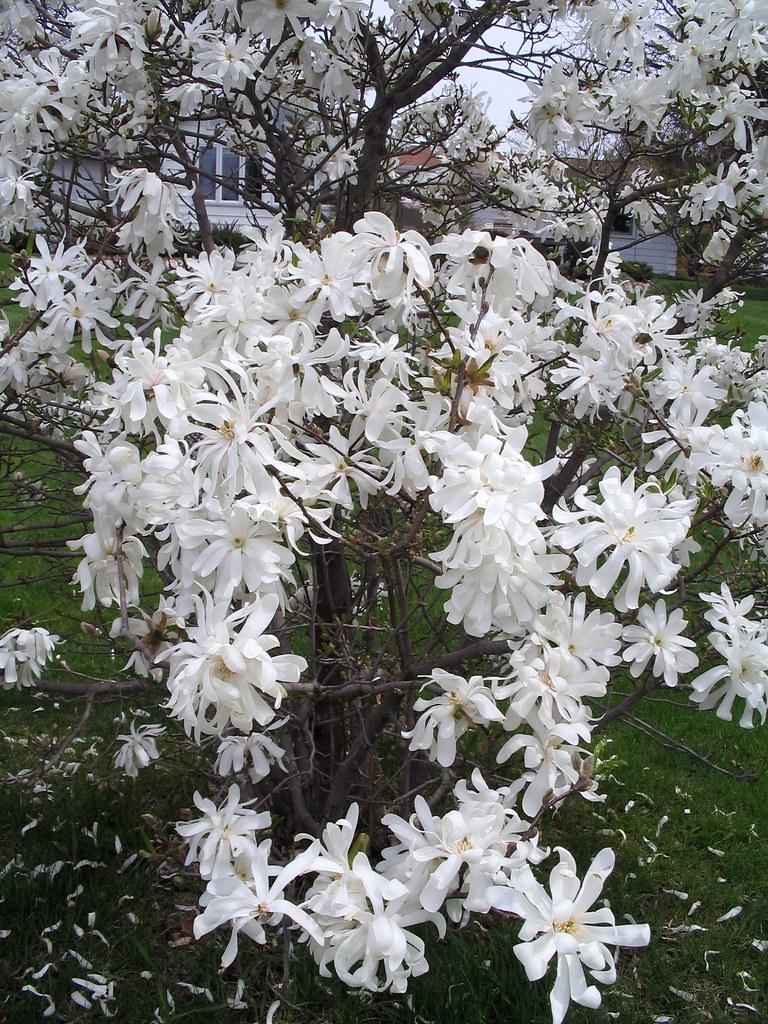 royal star magnolia this ia a beautiful sight as i. Black Bedroom Furniture Sets. Home Design Ideas