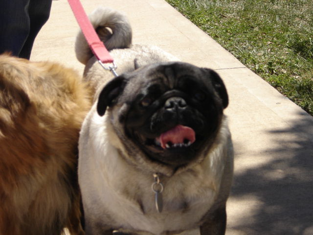 The Worlds Fattest Pug: Pin Biggest Pug On Pinterest