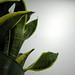 more snake plant