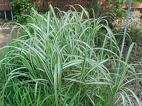 Variegated ornamental grass off grace street dave for White ornamental grass