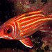 yellow striped squirrelfish