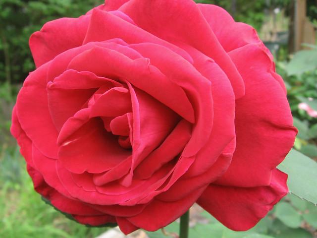 Happy Sunday Morning Rose